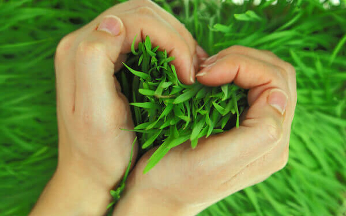 What is turf grass used for